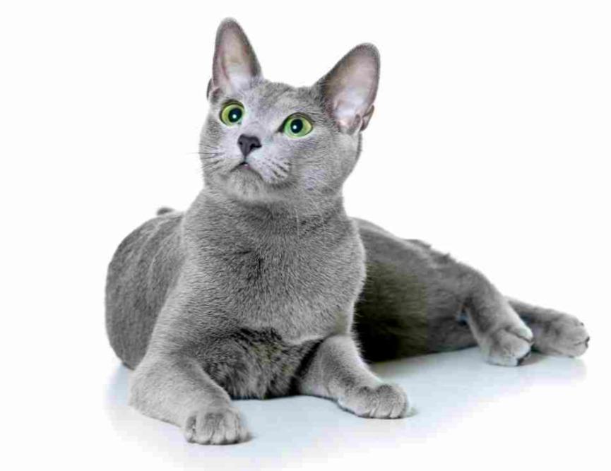 Что вы знаете про русских голубых кошек?